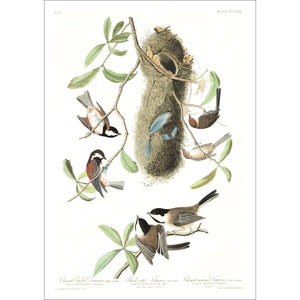 Chesnut-Backed, Black-Capt and Chesnut-Crowned Titmouse Print by John Audubon