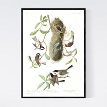 Load image into Gallery viewer, Chesnut-Backed, Black-Capt and Chesnut-Crowned Titmouse Print by John Audubon