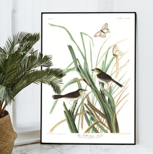 Load image into Gallery viewer, Mac Gillivray's Finch Print by John Audubon