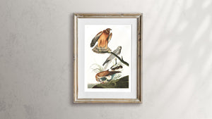 Marsh Hawk Print by John Audubon