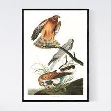 Load image into Gallery viewer, Marsh Hawk Print by John Audubon