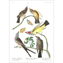 Load image into Gallery viewer, Arkansaw Flycatcher Swallow-Tailed Flycatcher and Lays Flycatcher Print by John Audubon