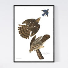 Load image into Gallery viewer, Stanley Hawk Print by John Audubon
