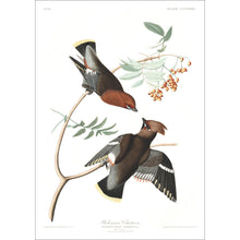 Load image into Gallery viewer, Bohemian Chatterer Print by John Audubon