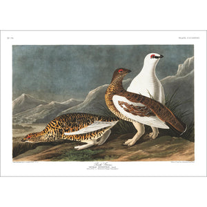 Rock Grous Print by John Audubon