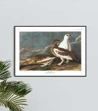 Load image into Gallery viewer, Rock Grous Print by John Audubon