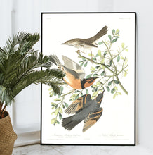 Load image into Gallery viewer, Mountain Mocking Bird and Varied Thrush Print by John Audubon
