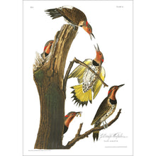 Load image into Gallery viewer, Gold-Winged Woodpecker Print by John Audubon