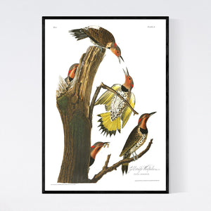 Gold-Winged Woodpecker Print by John Audubon