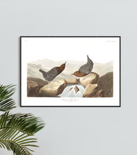 Load image into Gallery viewer, American Water Ouzel Print by John Audubon