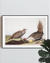 Load image into Gallery viewer, Cock of the Plains Print by John Audubon