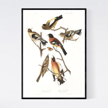 Load image into Gallery viewer, Evening Grosbeak and Spotted Grosbeak Print by John Audubon