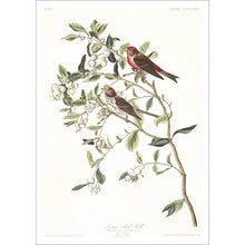 Load image into Gallery viewer, Lesser Red-Poll Print by John Audubon