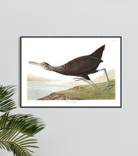 Load image into Gallery viewer, Scolopaceus Courlan Print by John Audubon