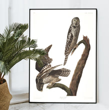 Load image into Gallery viewer, Hawk Owl Print by John Audubon