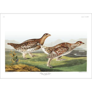 Sharp-Tailed Grous Print by John Audubon