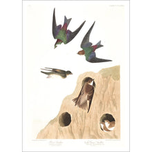 Load image into Gallery viewer, Bank Swallow and Violet-Green Swallow Print by John Audubon
