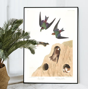 Bank Swallow and Violet-Green Swallow Print by John Audubon
