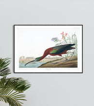 Load image into Gallery viewer, Glossy Ibis Print by John Audubon