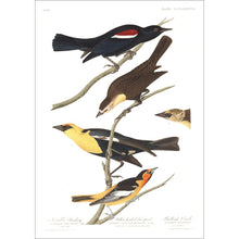 Load image into Gallery viewer, Nuttall's Starling Yellow-Headed Froopial and Bullock's Oriole Print by John Audubon
