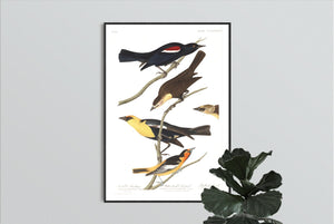 Nuttall's Starling Yellow-Headed Froopial and Bullock's Oriole Print by John Audubon