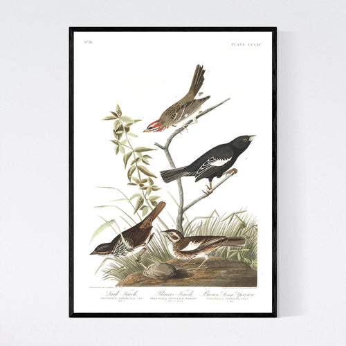 Lark Finch Prarie Finch and Brown Long Sparrow Print by John Audubon