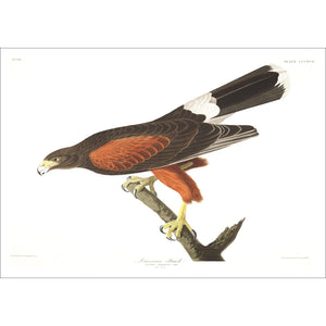 Louisiana Hawk Print by John Audubon