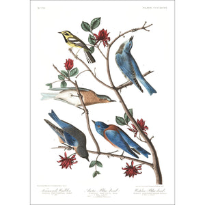 Townsend's Warbler Arctic Blue-Bird and Western Blue-Bird Print by John Audubon