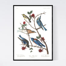Load image into Gallery viewer, Townsend's Warbler Arctic Blue-Bird and Western Blue-Bird Print by John Audubon