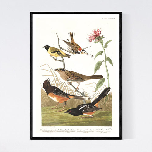 Chestnut Coloured Finch Black-Headed Siskin Black Crown Bunting and Arctic Ground Finch   Print by John Audubon