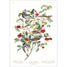 Load image into Gallery viewer, Audobon's Warbler Hermit Warbler and Black-Throated Gray Warbler Print by John Audubon