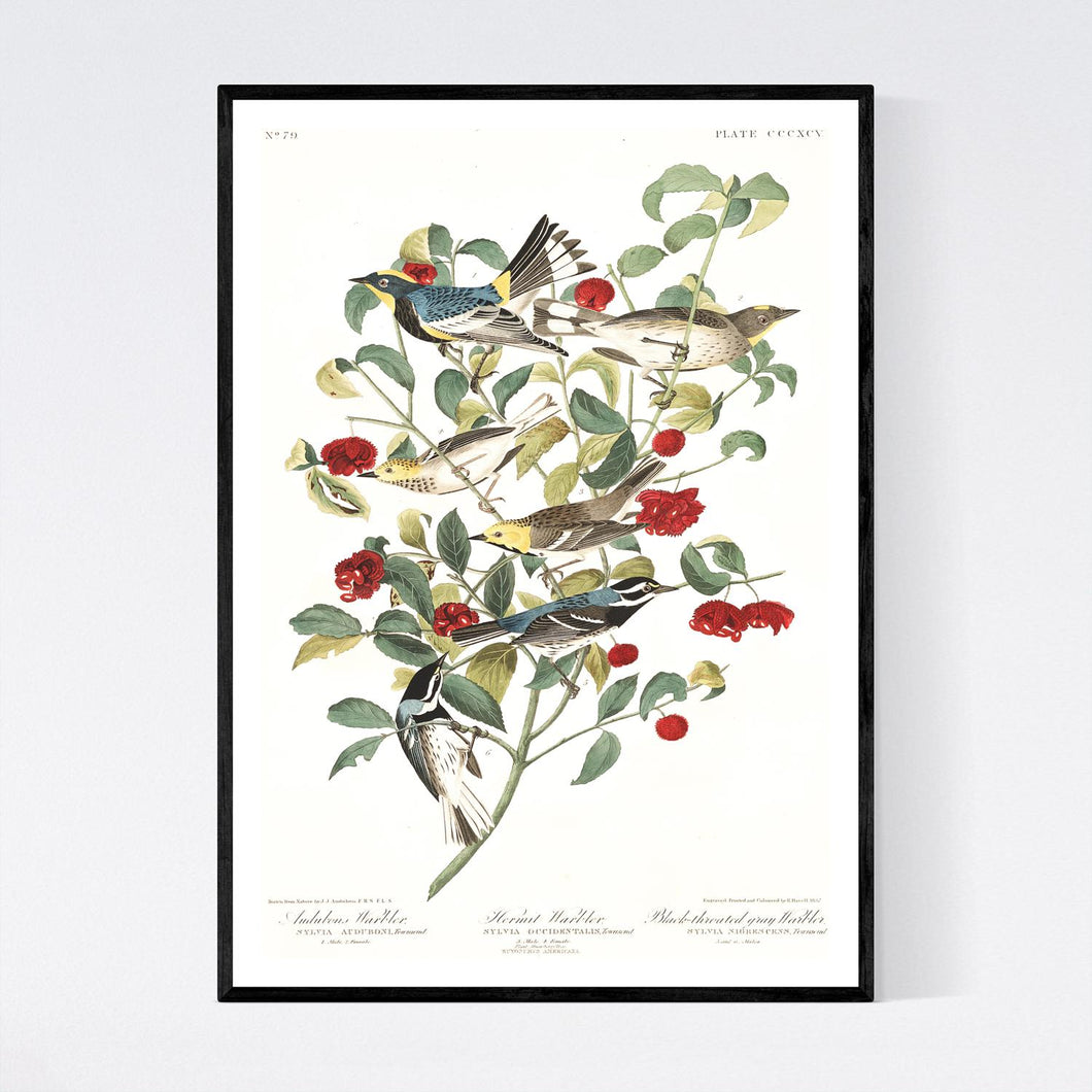 Audobon's Warbler Hermit Warbler and Black-Throated Gray Warbler Print by John Audubon