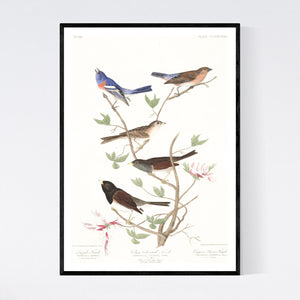Lazuli Finch Clay-Coloured Finch and Oregon Snow Finch Print by John Audubon