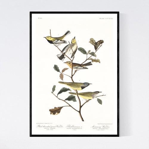 Black-Throated Green Warbler Blackburnian Warbler and Mourning Warbler  Print by John Audubon