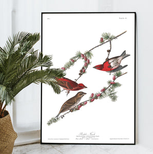 Purple Finch Print by John Audubon