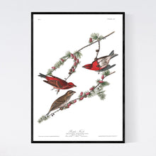 Load image into Gallery viewer, Purple Finch Print by John Audubon