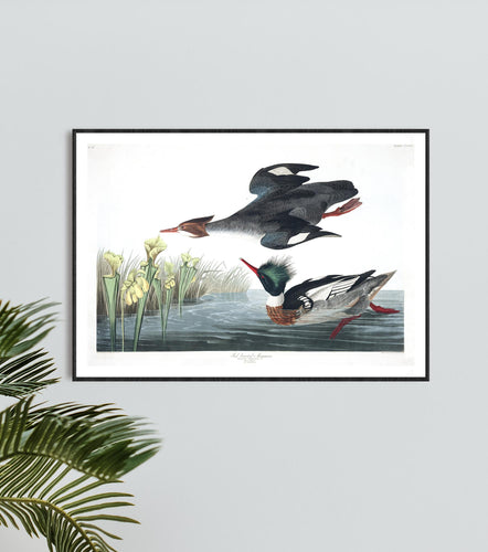 Red-Breasted Merganser Print by John Audubon