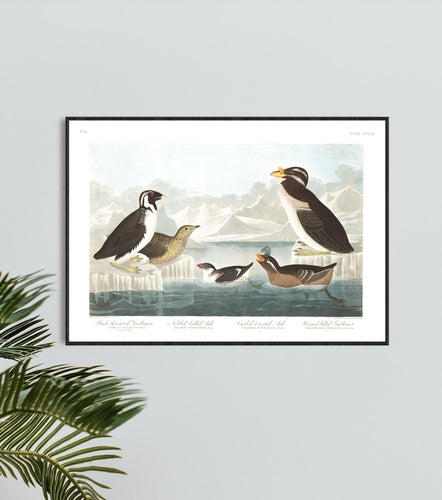 Black-Throated Guillemot Nobbed-Billed Auk Curled-Crested Auk and Horned-Billed Guillemot Print by John Audubon