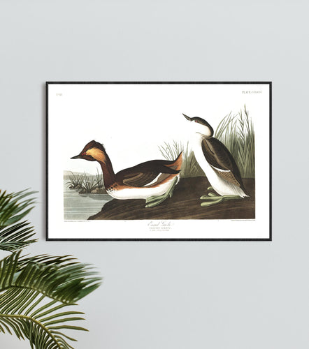 Eared Grebe Print by John Audubon