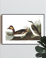 Load image into Gallery viewer, Eared Grebe Print by John Audubon