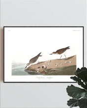 Load image into Gallery viewer, Semipalmated Sandpiper Print by John Audubon