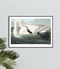 Load image into Gallery viewer, Trumpeter Swan Print by John Audubon