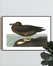 Load image into Gallery viewer, Dusky Albatros Print by John Audubon