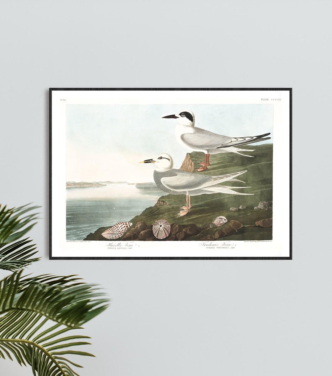 Havell's Tern and Frudeau's Tern Print by John Audubon