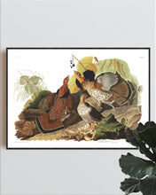 Load image into Gallery viewer, Ruffed Grous Print by John Audubon