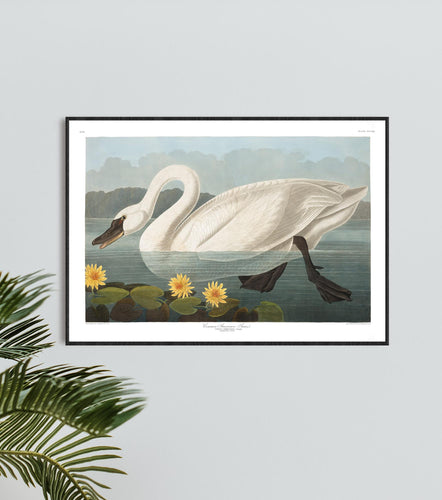 Common American Swan Print by John Audubon