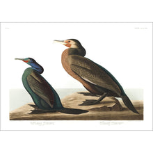 Load image into Gallery viewer, Violet-Green Cormorant and Townsend's Cormorant Print by John Audubon
