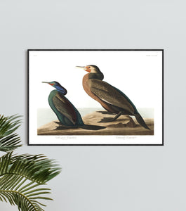 Violet-Green Cormorant and Townsend's Cormorant Print by John Audubon