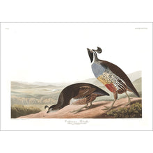 Load image into Gallery viewer, Californian Partridge Print by John Audubon