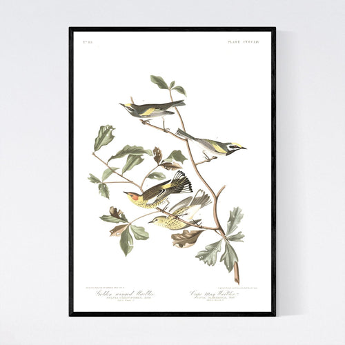 Golden-Winged Warbler and Cape May Warbler Print by John Audubon